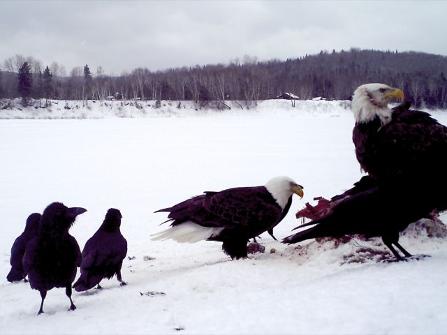 Bald eagles join a group of ravens feeding on a deer carcass that was left on the St. John River in Allagash to serve as coyote bait recently. As many as six eagles, including five adults, visited the bait at the same time. (Photo courtesy of Sue Underhill Kelly)